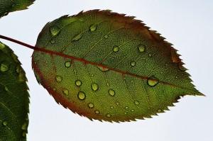 https://pixabay.com/en/rosenblatt-leaf-wasserperlen-wet-781687/