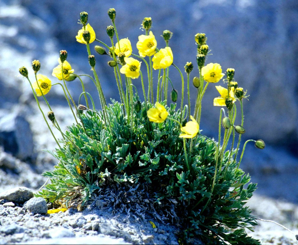 Small, yellow Arctic poppies growing on a rocky surface