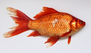 https://pixabay.com/en/goldfish-carassius-fish-golden-red-537832/