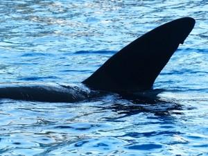 https://pixabay.com/en/killer-whale-orcinus-orca-orka-orca-406707/