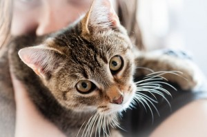 https://pixabay.com/en/pet-cat-animal-domestic-cat-dear-726979/