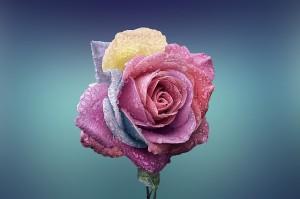 https://pixabay.com/en/rose-beautiful-beauty-bloom-729509/
