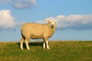 https://pixabay.com/en/sheep-dike-sky-clouds-meadow-759816/