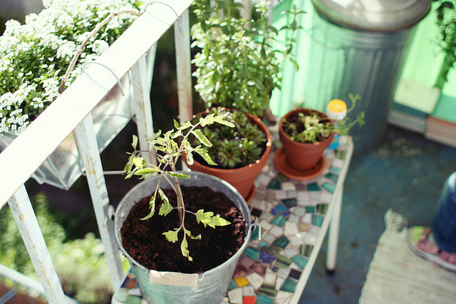 Tomato plants growing in pots on an apartment balcony