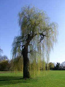 https://pixabay.com/en/weeping-willow-pasture-tree-old-261458/