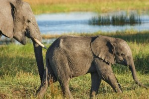 http://pixabay.com/en/elephant-safari-wilderness-523243/