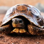 http://pixabay.com/en/turtle-nature-slow-hull-animal-509524/