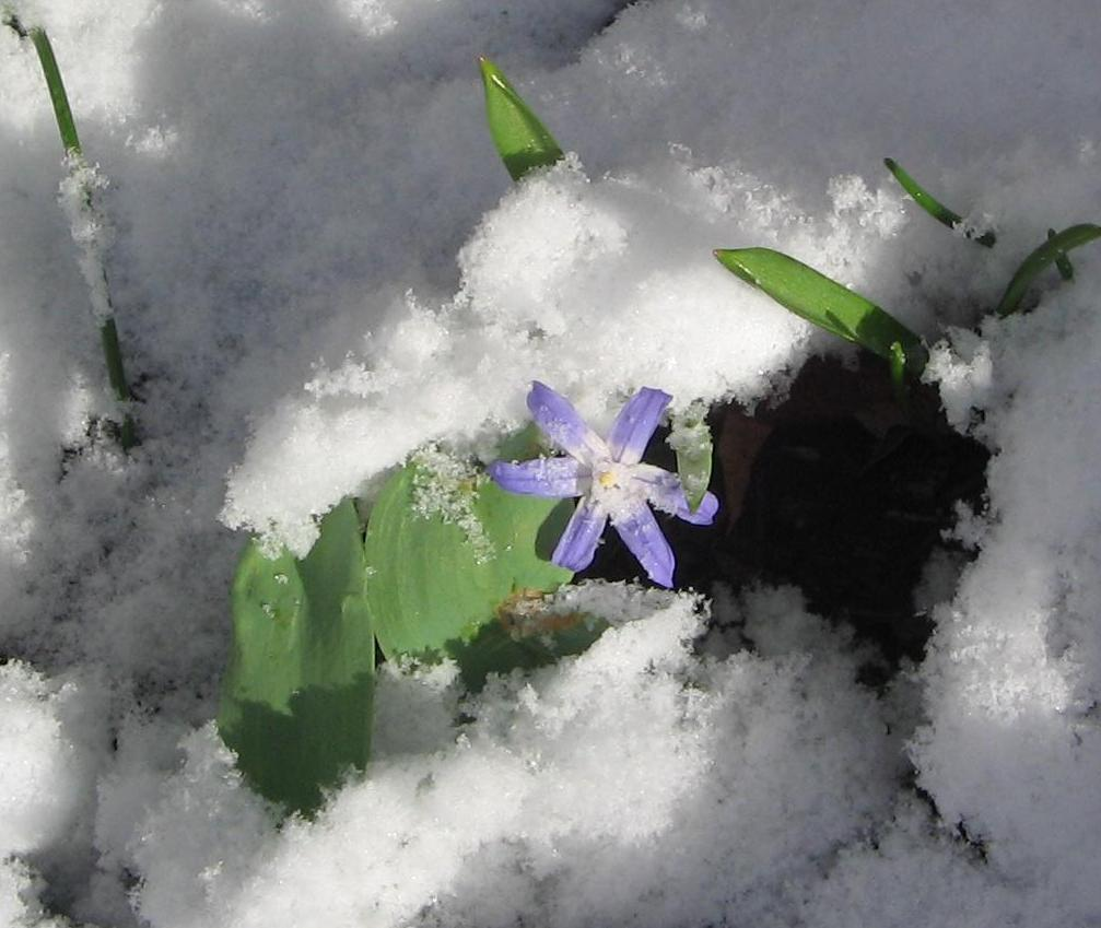https://en.wikipedia.org/wiki/Alpine_plant#/media/File:Glory_of_the_Snow_in_the_snow.JPG
