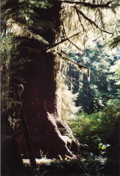 A coniferous tree with a thick trunk and feathery branches.