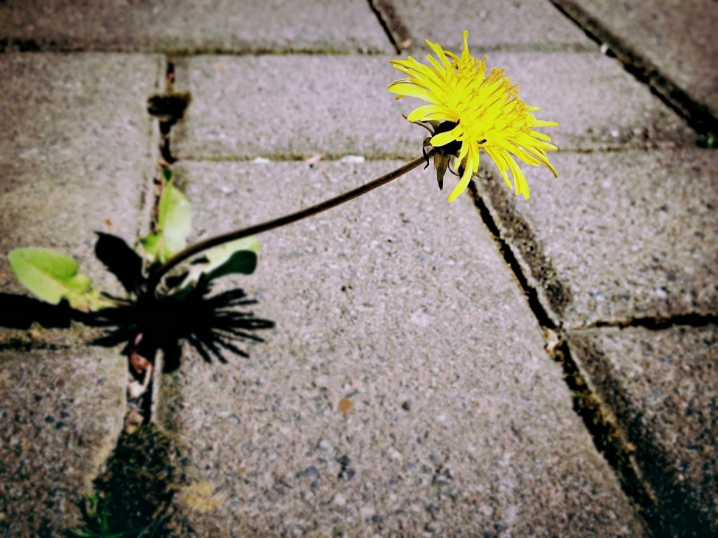 A bright yellow dandelion grows out of a crack in the sidewalk.