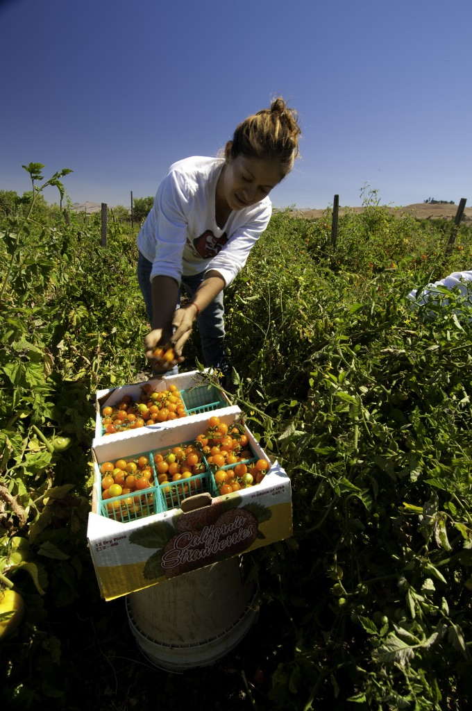 A woman picks small tomatoes in a field and places them in plastic baskets in a produce box.