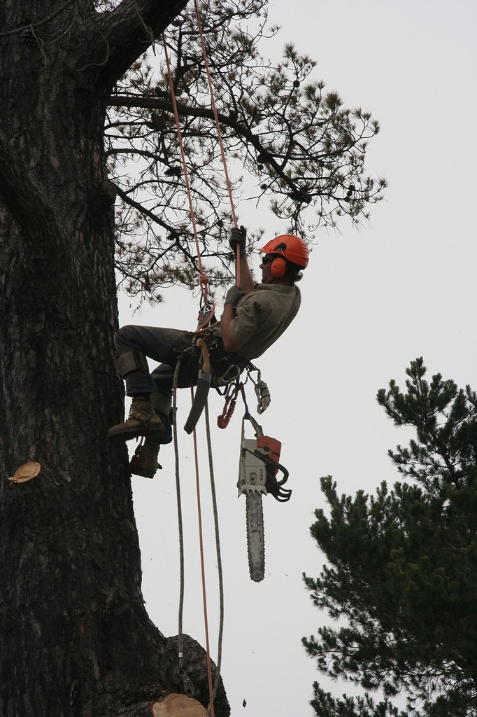 A man wearing a hard hat and ear protection rappels down a tree. A chainsaw dangles from his belt.