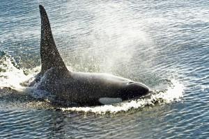 https://commons.wikimedia.org/wiki/File:Bull_orca_victoria.jpg