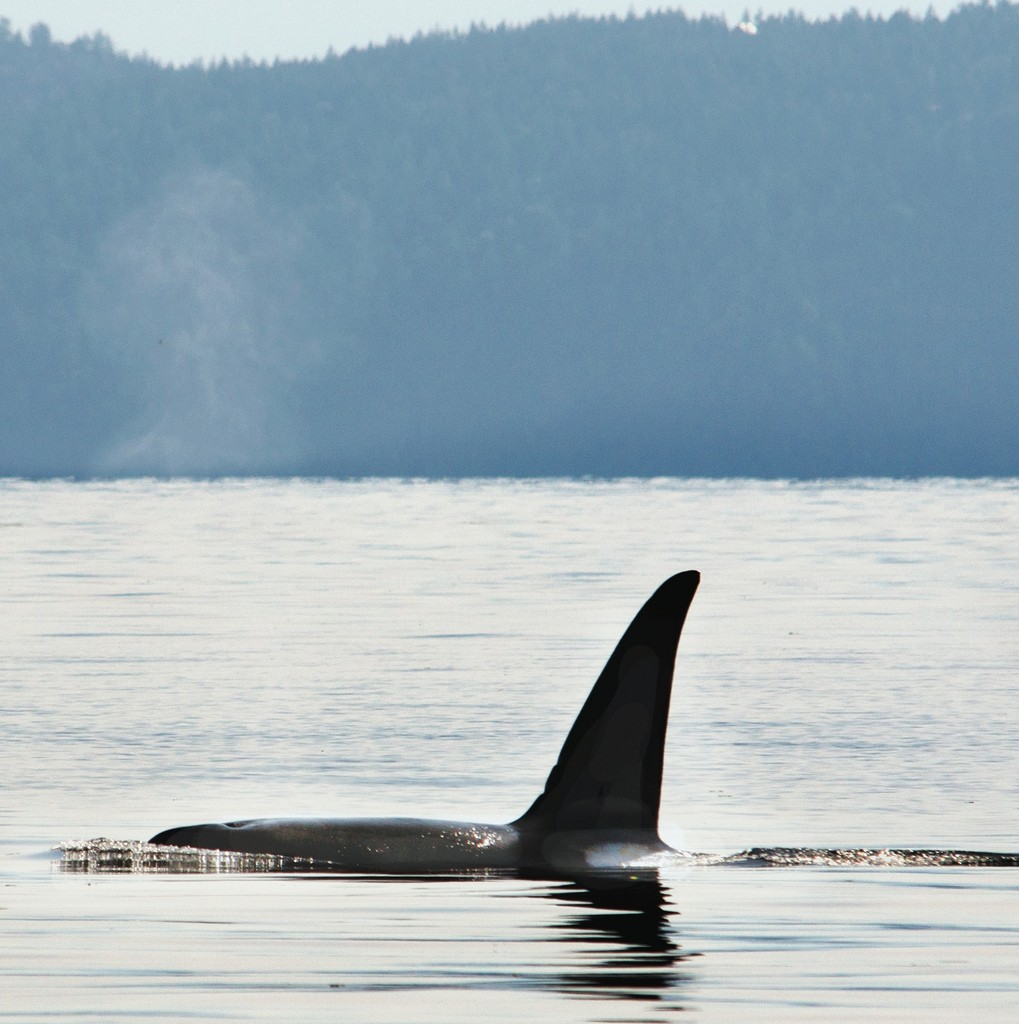Fastest Jet In The World >> Spy-Hopping with Orca Whales – BC Reads: Adult Literacy ...