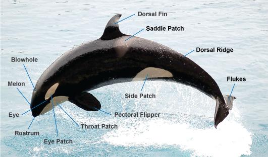 Orca_anatomy
