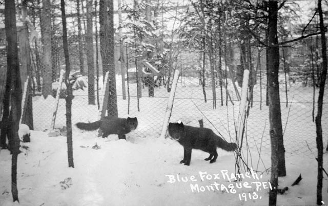 Two foxes stand in an enclosure. Snow coats the ground and the trees surrounding the enclosure.
