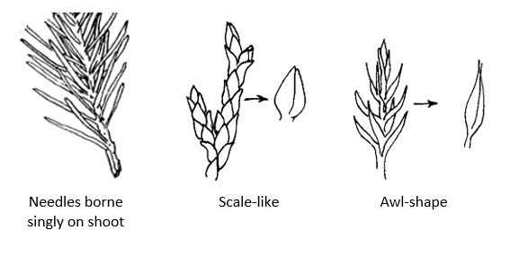 Types of conifer leaves with terms below: needles borne singly on shoot, scale-like, awl-shape