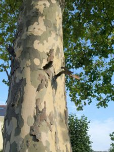 Bark of Platanus x acerifolia (London plane tree)