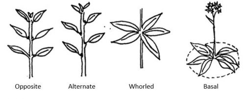 Common types of leaf arrangement with terms below features: opposite, alternate, whorled, basal