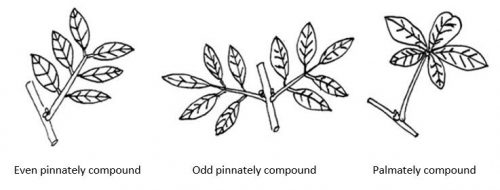 Types of compound leaves with terms below features: even pinnately compound, odd pinnately compound, palmately compound