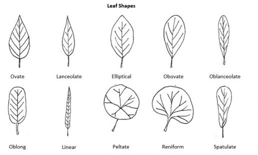 Leaf morphology chart with narrow to broad examples: ovate, lanceolate, elliptical, obovate, oblanceolate, oblong, linear, peltate, reniform, spatulate