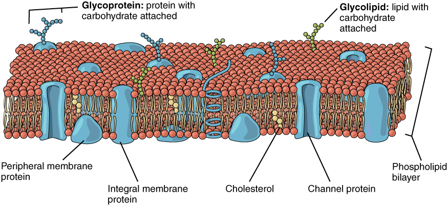 3 1 the cell membrane anatomy and physiology