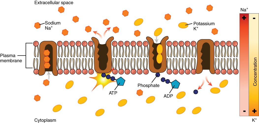 3.1 The Cell Membrane – Anatomy and Physiology