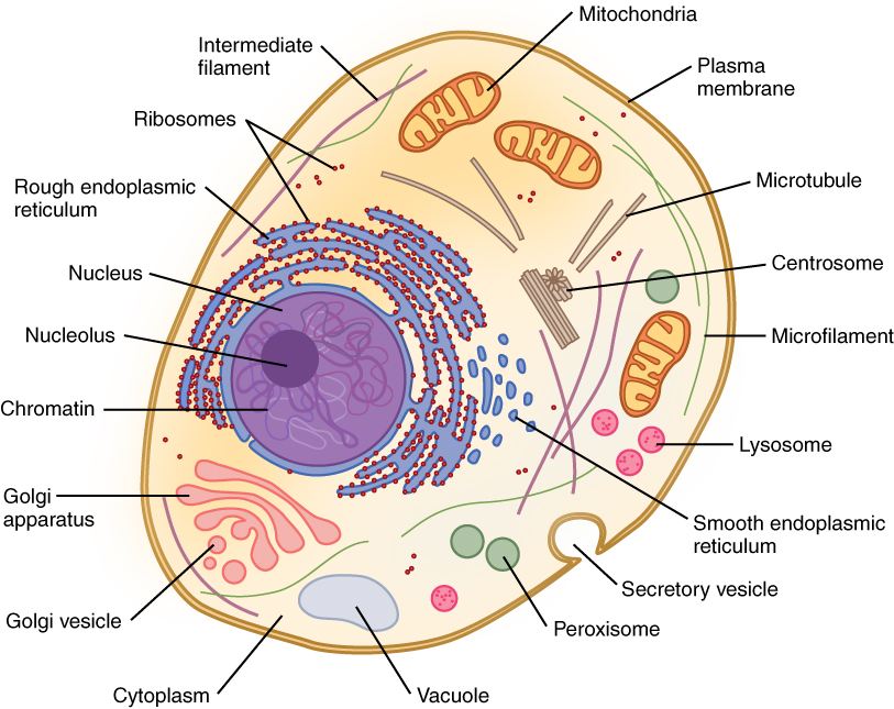 32 the cytoplasm and cellular organelles anatomy and physiology this diagram shows an animal cell with all the intracellular organelles labeled ccuart Image collections