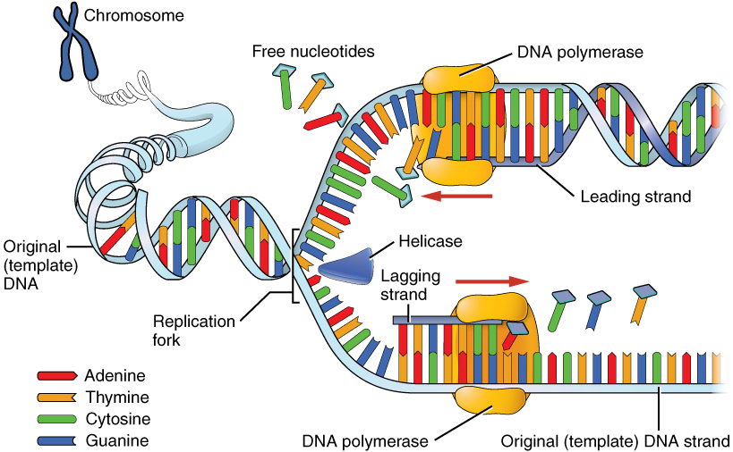 33 the nucleus and dna replication anatomy and physiology this image shows the process of dna replication a chromosome is shown expanding into the ccuart Image collections