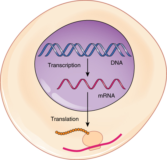 Social Problem Among Teenagers Essay This Figure Shows A Schematic Of A Cell Where Transcription From Dna To  Mrna Takes Place Persuasive Essay For Abortion also Essays On Dracula  Protein Synthesis  Anatomy And Physiology Macbeth Essay On Power