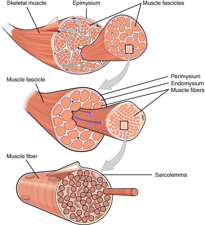 This figure shows the structure of muscle fibers. The top panel shows a skeleton muscle fiber, and a magnified view of the muscle fascicles are shown. The middle panel shows a magnified view of the muscle fascicles with the muscle fibers, perimysium and the endomysium. The bottom panel shows the structure of the muscle fiber with the sarcolemma highlighted.