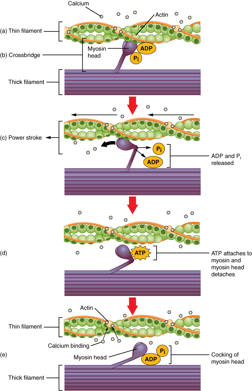 10 3 muscle fiber contraction and relaxation anatomy and physiology this multipart figure shows the mechanism of skeletal muscle contraction in the top panel
