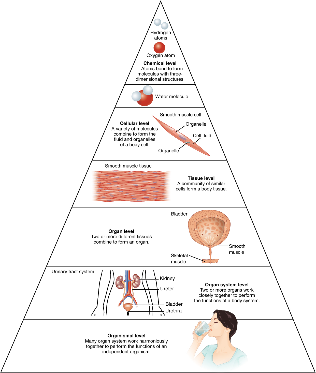 12 Structural Organization Of The Human Body Anatomy And Physiology