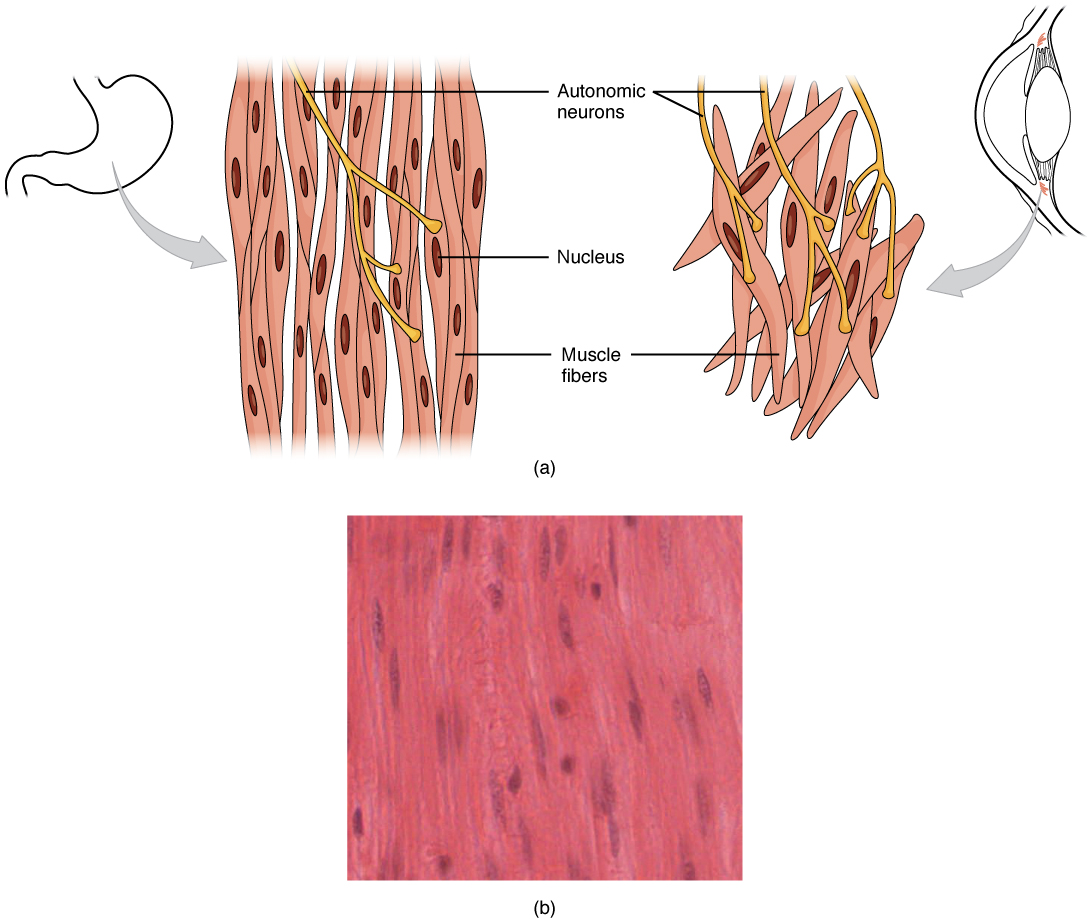 this diagram shows the structure of smooth muscle  to the left of the  figure,