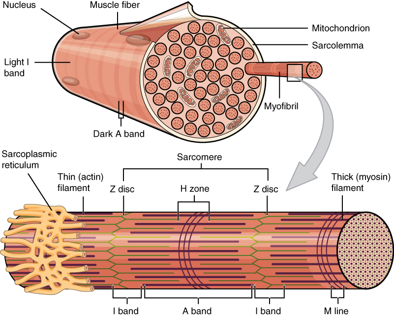 10.2 Skeletal Muscle – Anatomy and Physiology