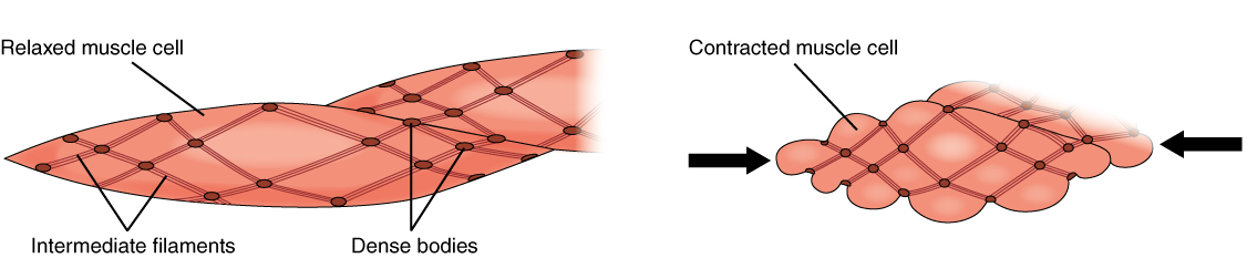 This figure shows smooth muscle contraction. The left panel shows the structure of relaxed muscle and the right panel shows contracted muscle cells.