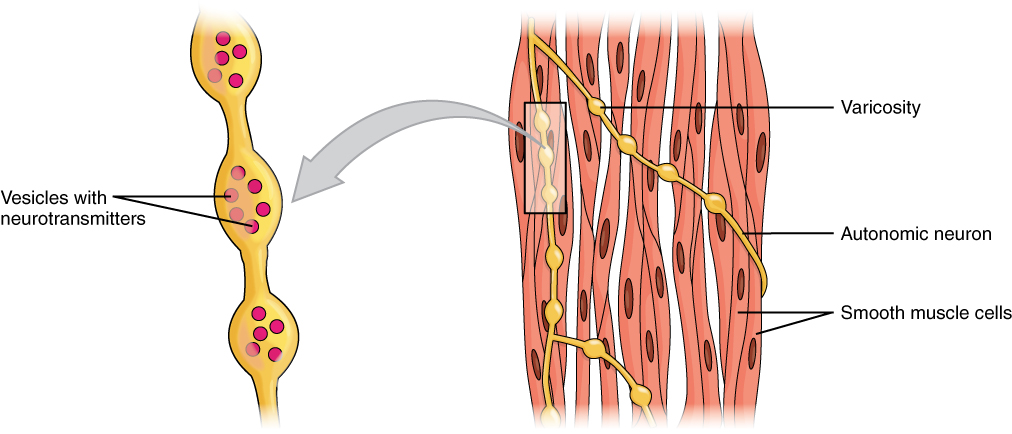 10.8 smooth muscle | anatomy and physiology, Muscles