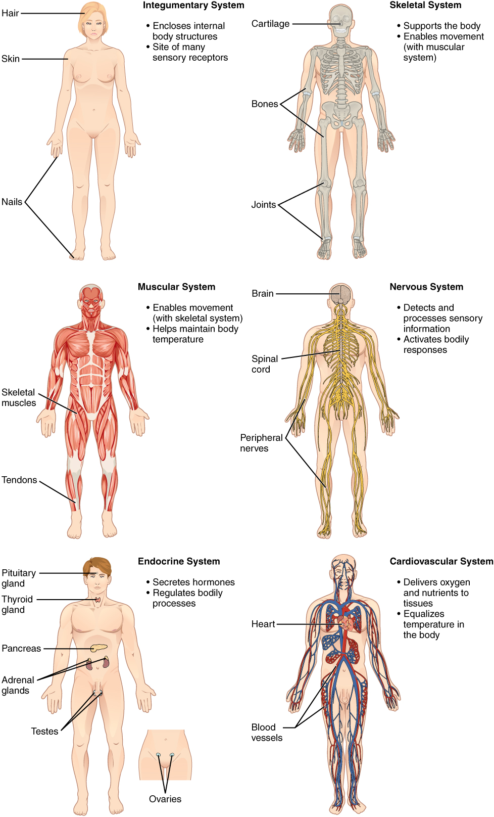 1.2 structural organization of the human body | anatomy and physiology, Skeleton