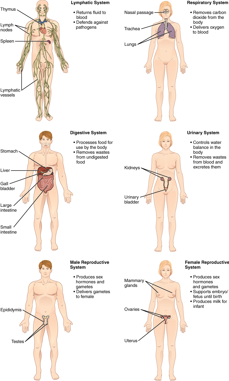 organ systems The human body systems - functions, locations, anatomy, definition, picture of organ systems what, which, digestive, nervous, immune, reproductive system.
