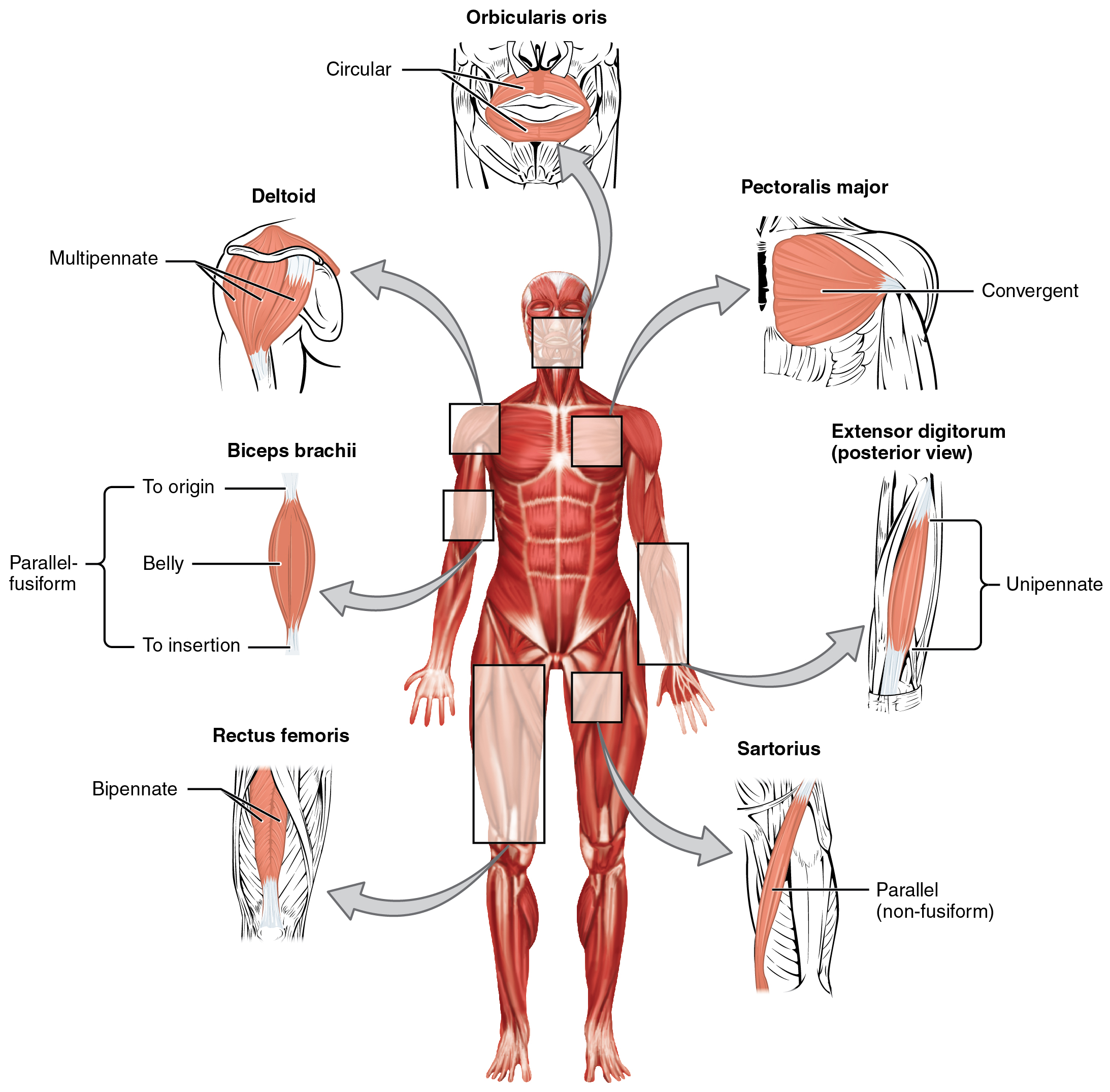 11.1 interactions of skeletal muscles, their fascicle arrangement, Muscles