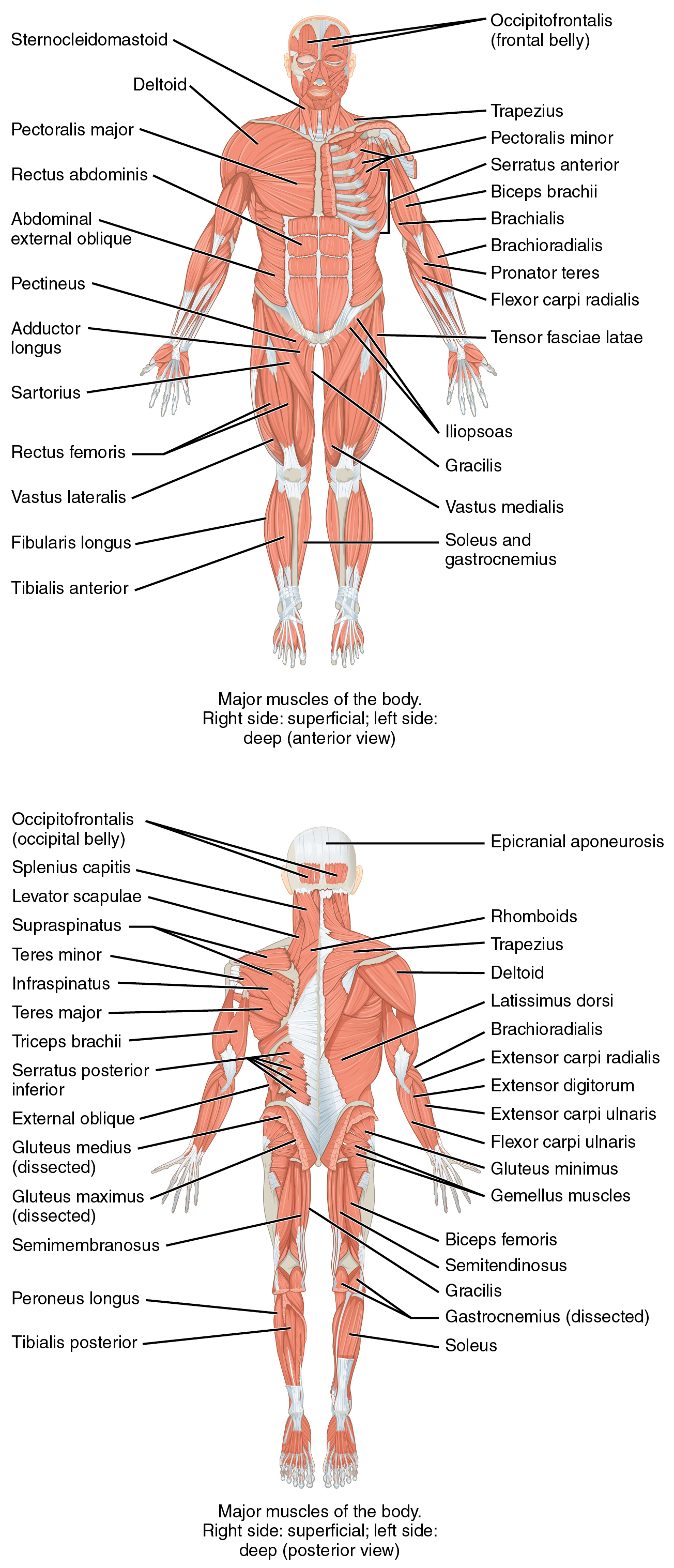 an overview of the muscle system of the human body The human brain is the body's control center, receiving and sending signals to other organs through the nervous system and through secreted hormones it is responsible for our thoughts, feelings .