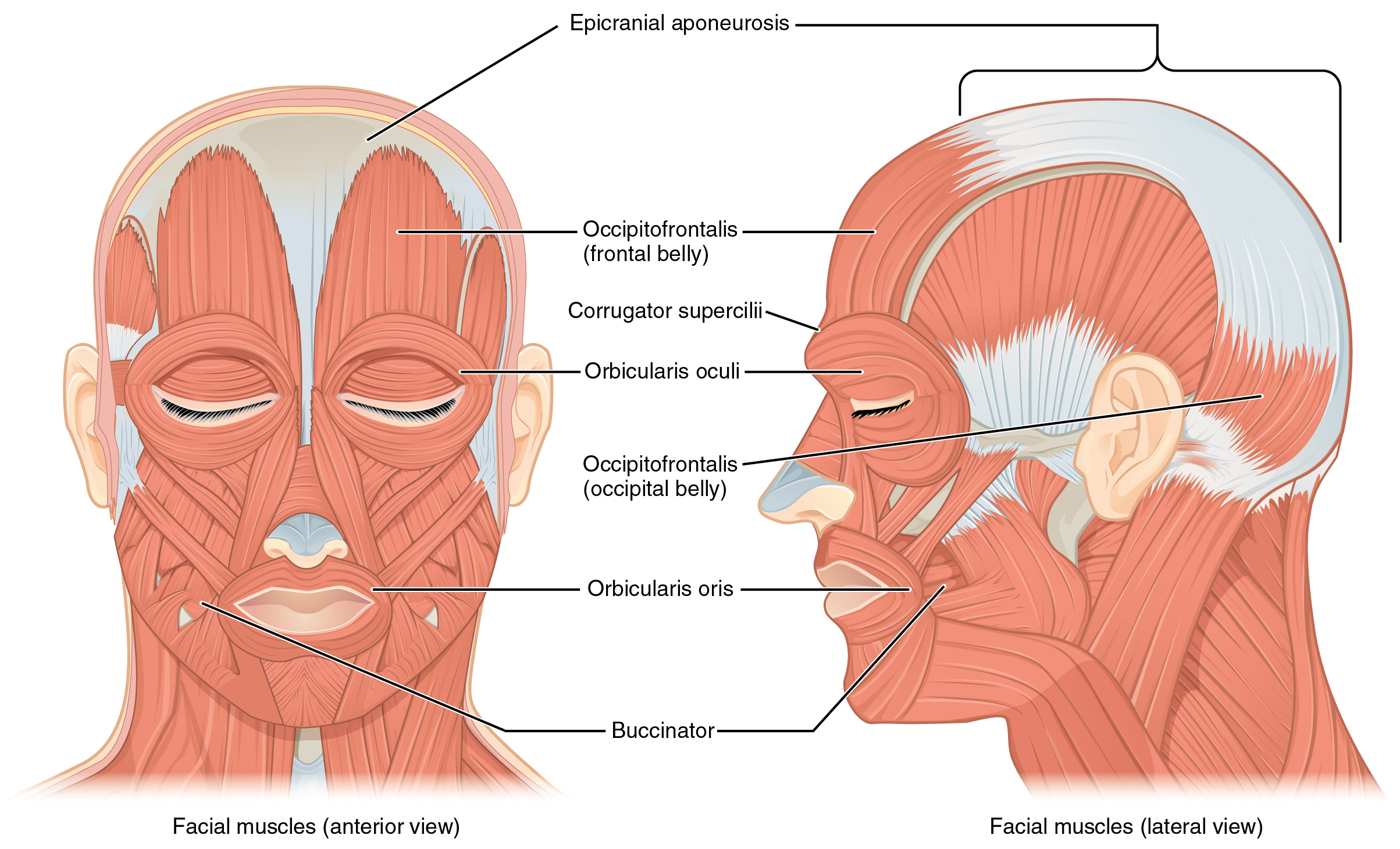 113 Axial Muscles Of The Head Neck And Back Anatomy Physiology Swallow Wiring Diagram Left Panel In This Figure Shows Anterior View Facial