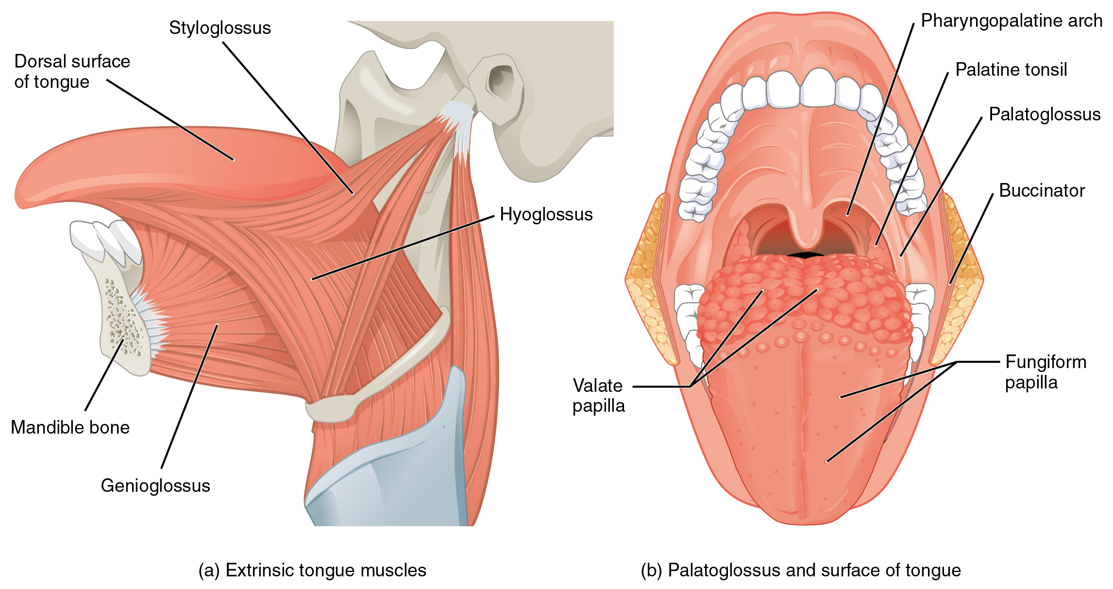 diagram of tongue muscles - box wiring diagram