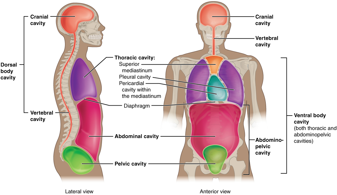1.6 Anatomical Terminology – Anatomy and Physiology