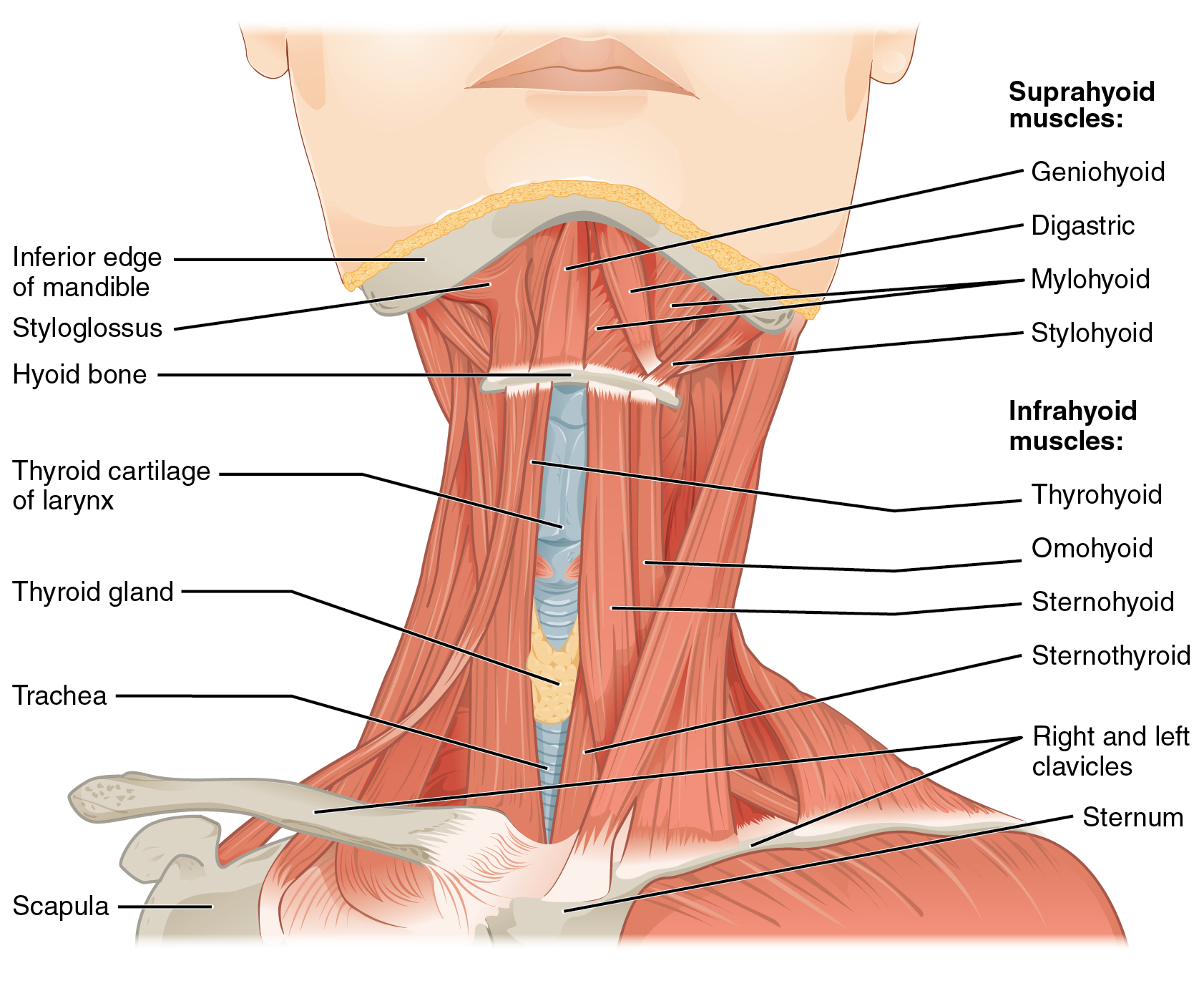 This figure shows the front view of a person's neck with the major muscle groups labeled.