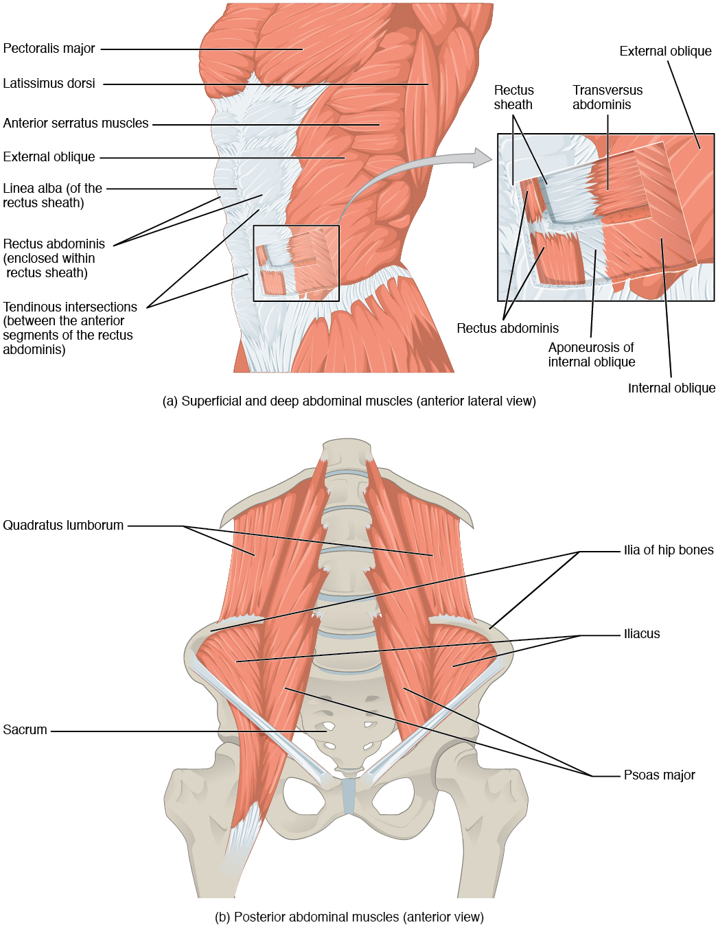 114 Axial Muscles Of The Abdominal Wall And Thorax Anatomy Below Is A Diagram Inhalation Exhalation With Anatomical Abdomen