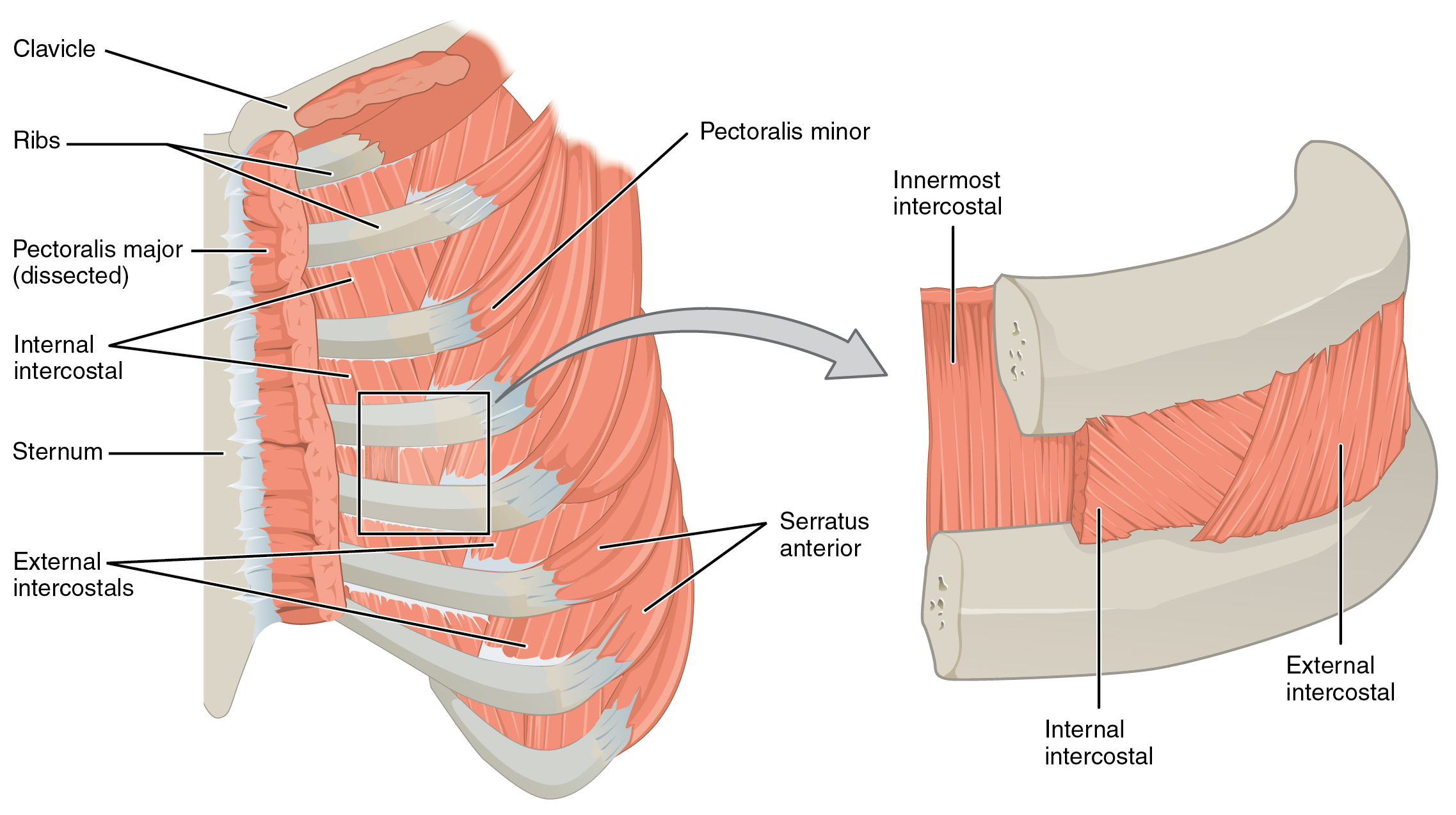 this figure shows the muscles in the thorax  the left panel shows the ribs,