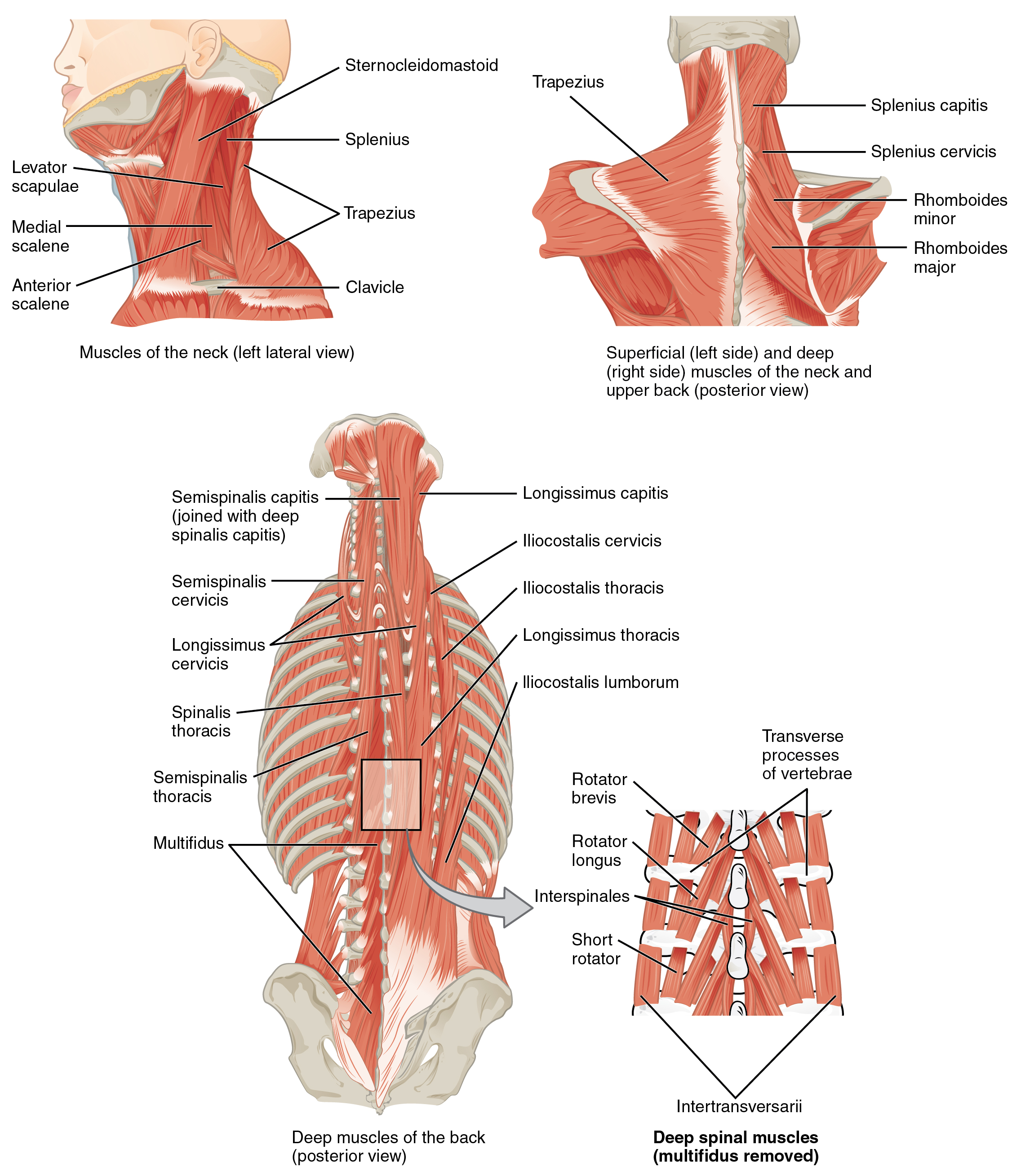 113 Axial Muscles Of The Head Neck And Back Anatomy Physiology Three Phase High Leg Wiring Diagram Top Left Panel Shows A Lateral View