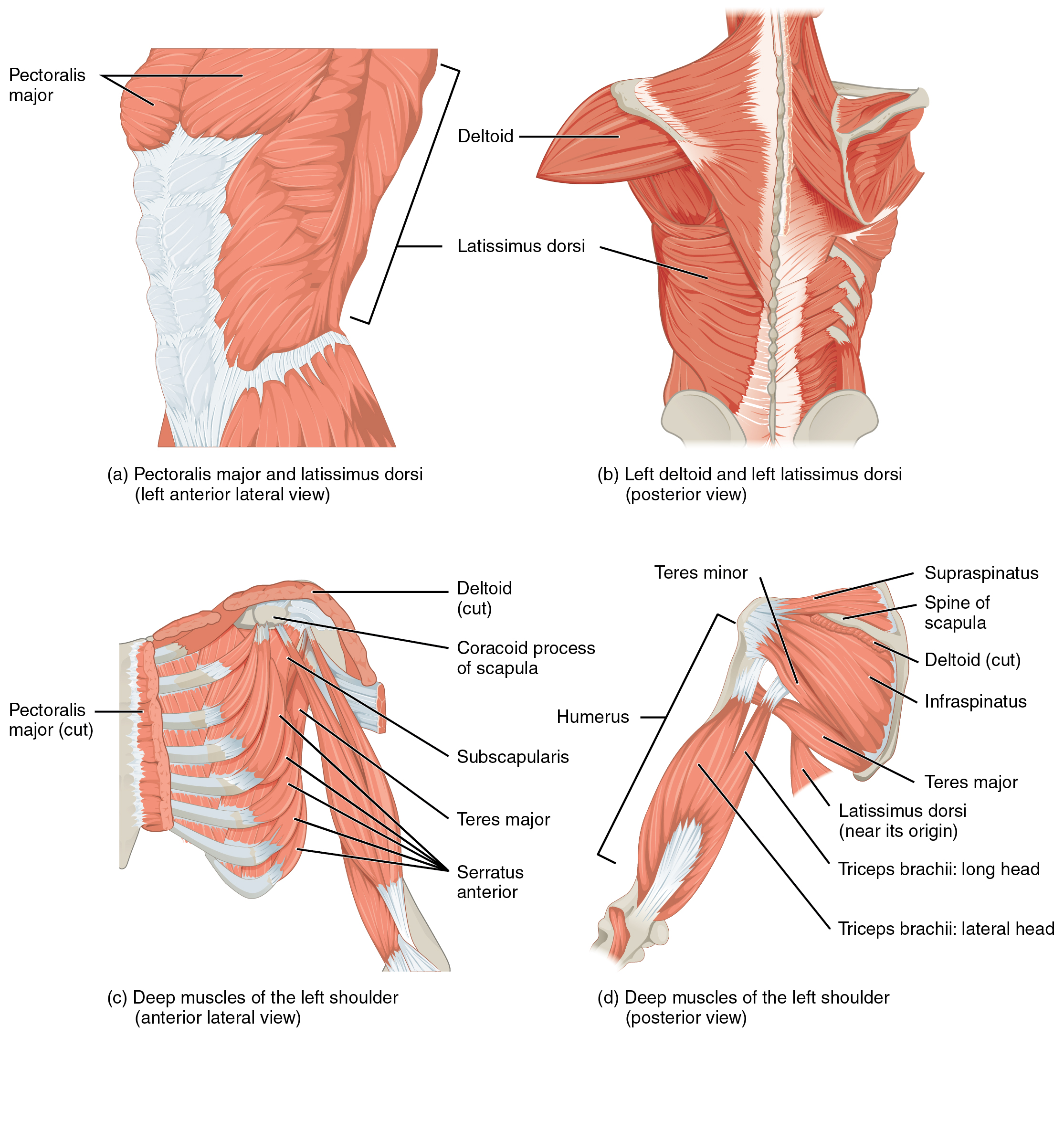 115 Muscles Of The Pectoral Girdle And Upper Limbs Anatomy And