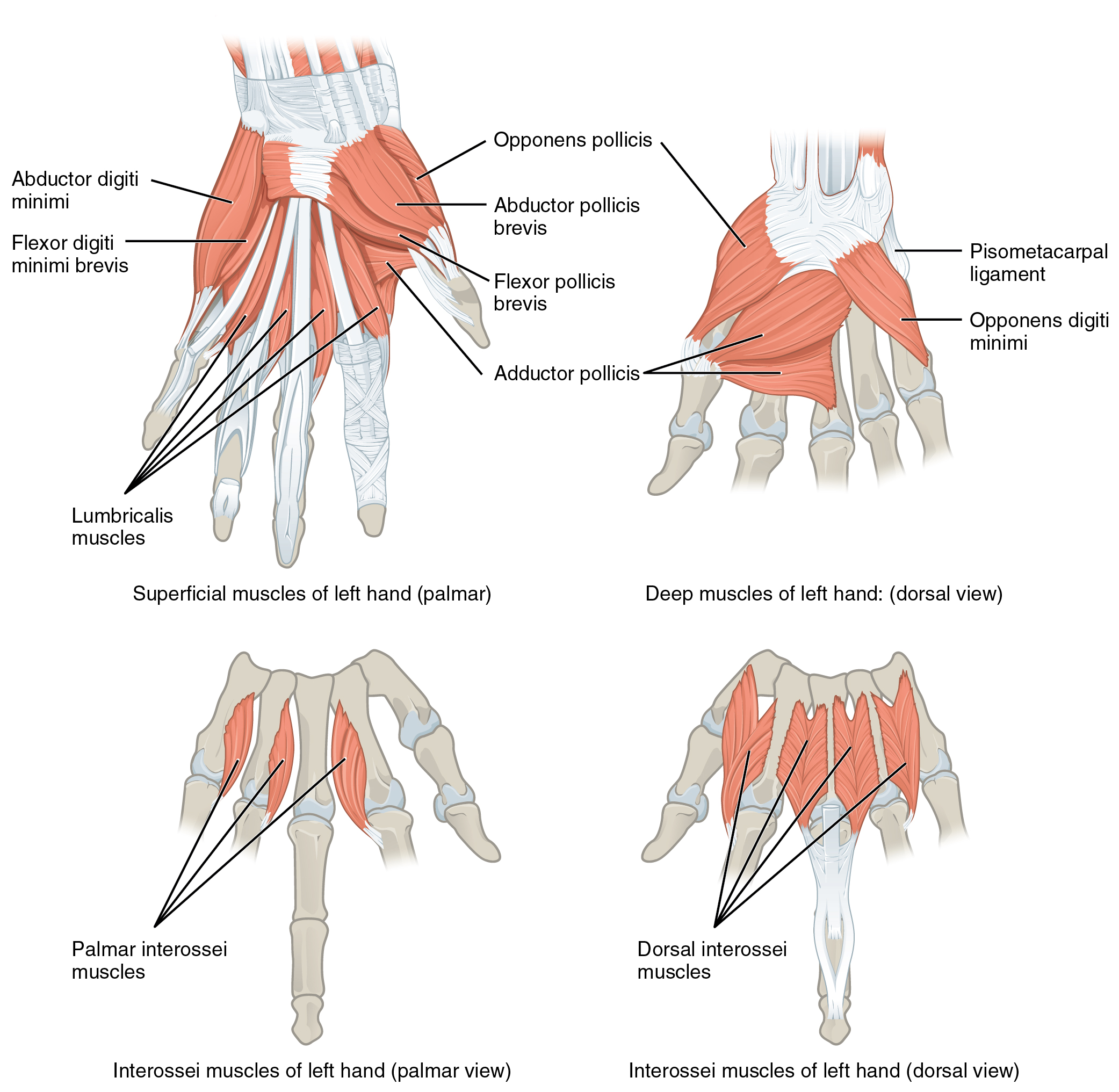 11.5 Muscles of the Pectoral Girdle and Upper Limbs – Anatomy and ...